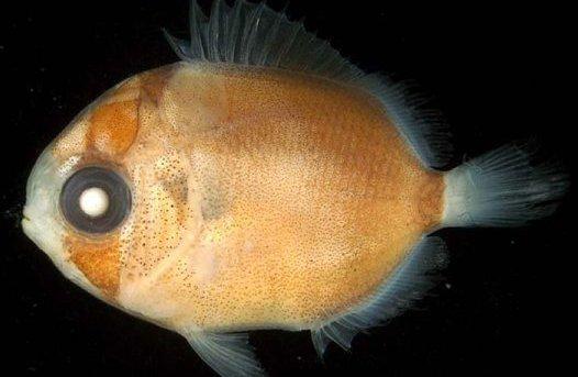larval Threadfin Butterflyfish