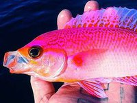 Splendid Perch caught on hook and line