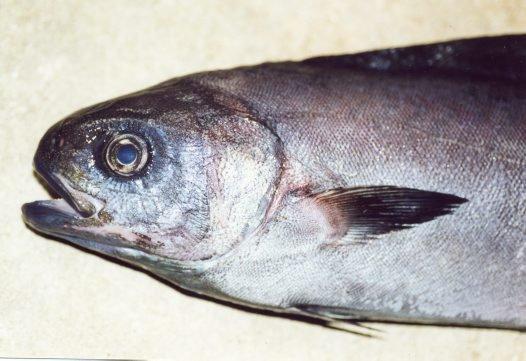 Rudderfish, Centrolophus niger