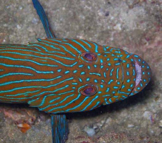 Bluelined Rockcod, Cephalopholis formosa