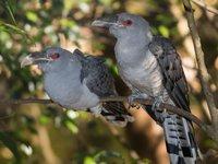Channel-billed Cuckoo <i>Scythrops novaehollandiae</i>