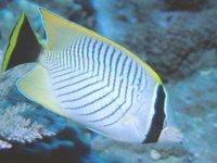 Chevroned Butterflyfish