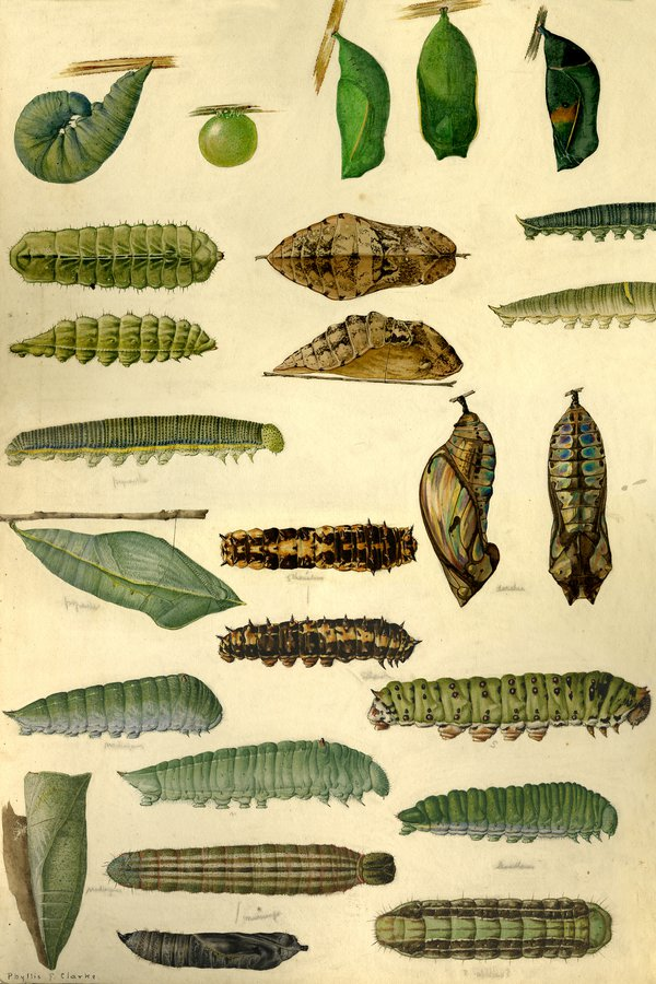 Illustration of caterpillars