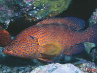 Coral Cod