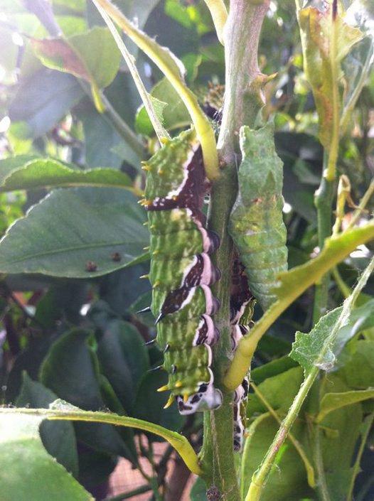 Orchard Butterfly, Caterpillar
