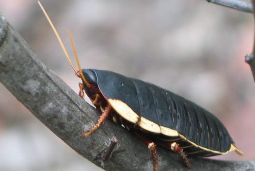 Native cockroach