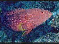 Adult Yellowedge Coronation Trout