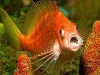 Lyretail Hawkfish, Cyprinocirrhites polyactis