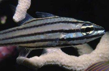 Fiveline Cardinalfish, Cheilodipterus quinquelineatus