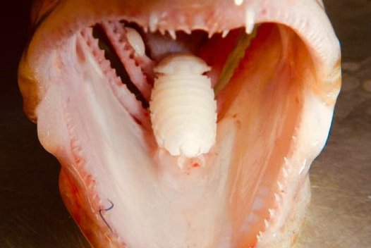Cymothoa epimerica, Parasitic Isopod