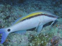 Dot-and-dash Goatfish