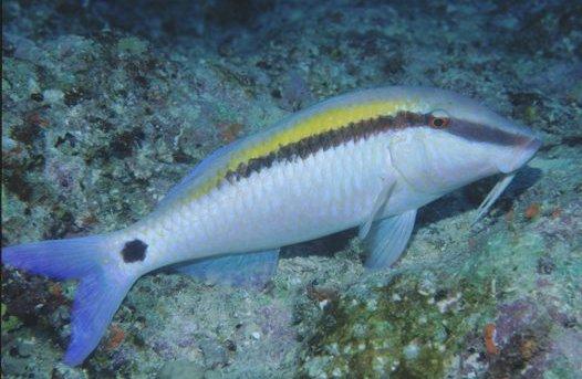 Dot-and-dash Goatfish