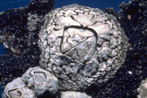 Chthamalus antennatus