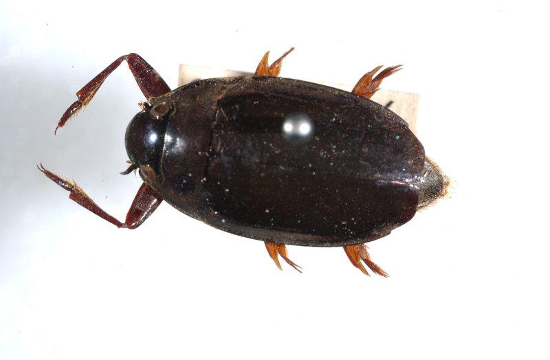 Macrogyrus striolatus