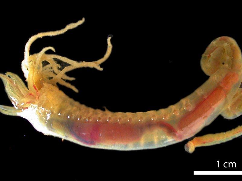 Deep Sea Bristle Worm