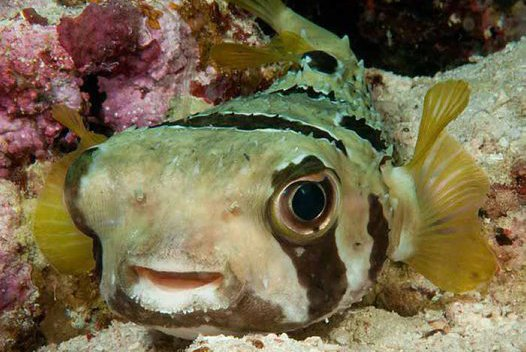 Blackblotched Porcupinefish, Diodon liturosus