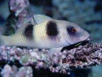 Doublebar Goatfish