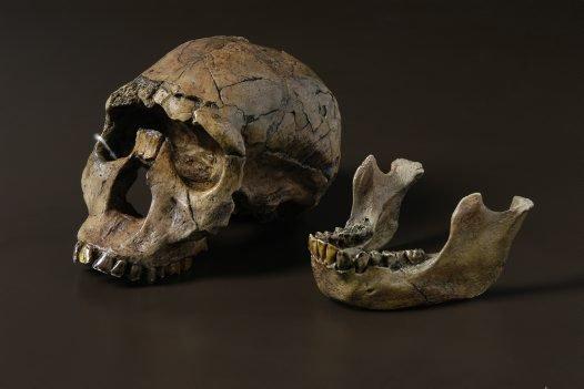 'Turkana Boy' Homo ergaster skull