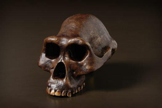Australopithecus afarensis skull