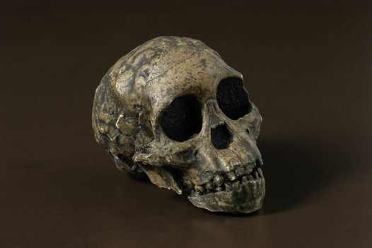 Taung Child Australopithecus africanus skull