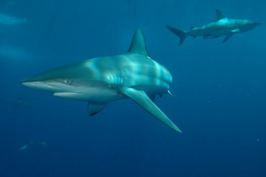 Common Blacktip Sharks, Carcharhinus limbatus