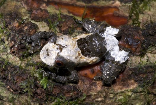 Bird poo frog (Theloderma asperum)