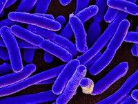 Escherichia coli bacteria under microscope
