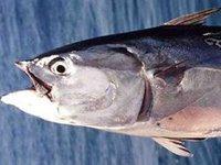 Mackerel Tuna, Euthynnus affinis
