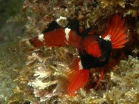 Ringscale Triplefin
