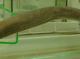 A Broadgilled Hagfish caught off Coffs Harbour