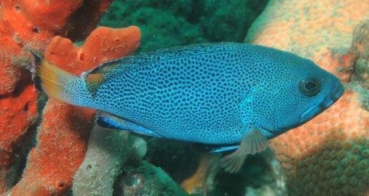 Purple Rockcod, Epinephelus cyanopodus