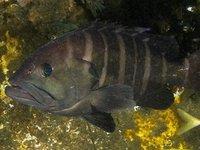 Banded Rockcod, Epinephelus ergastularius