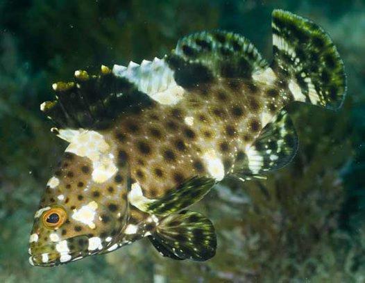 Highfin Grouper,<i> Epinephelus maculatus</i>
