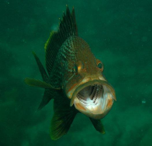 Maori Rockcod, Epinephelus undulatostriatus