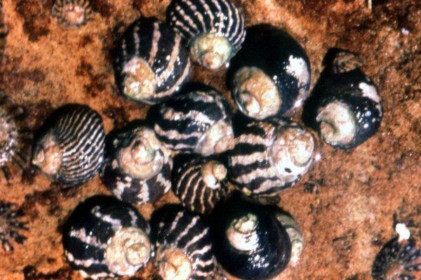 Austrocochlea porcata