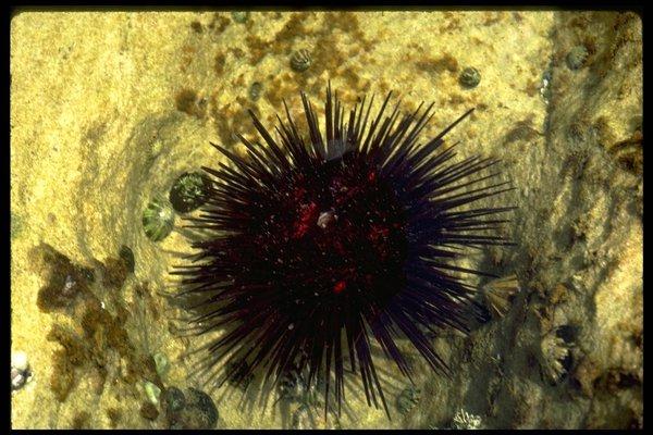 Centrostephanus rodgersii