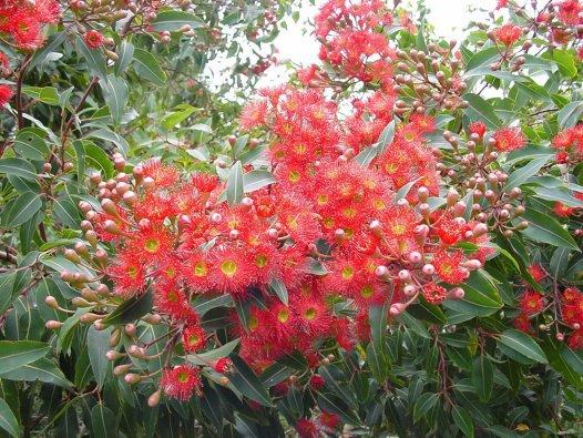 Flowering of Eucalyptus ficifolia