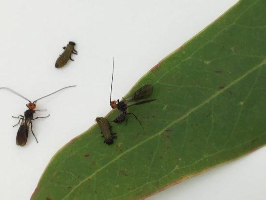 Eadya paropsidis laying egg in larva of Paropsis charybdis