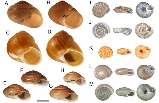Convergent shell morphotypes in non-related camaenids.