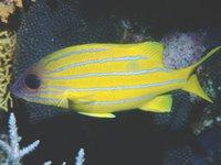 Fiveline Snapper, Lutjanus quinquelineatus