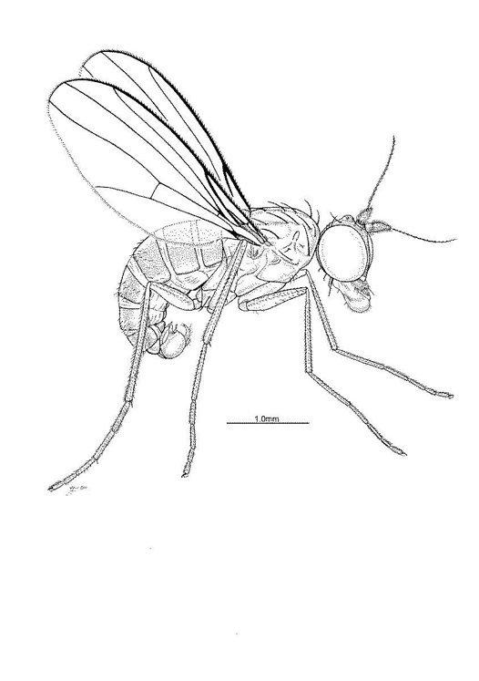 male Pindaia dispersa