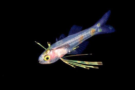 Spot-tail cardinalfish larva Gymnapogon urospilotus