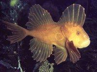 Red Velvetfish, <i>Gnathanacanthus goetzeei</i>