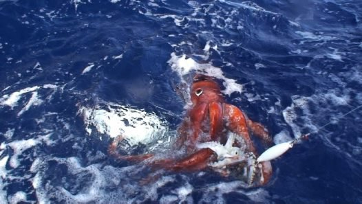 Giant Squid, Architeuthis dux