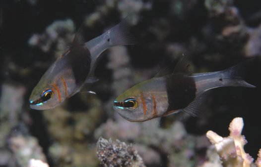 Girdled Cardinalfish