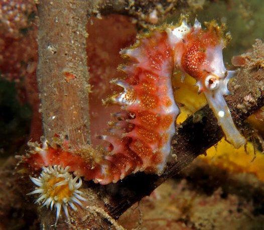 Thorny Seahorse, Hippocampus histrix