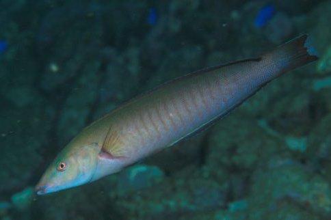 Pastel Slender Wrasse,<i>Hologymnosus doliatus</i>
