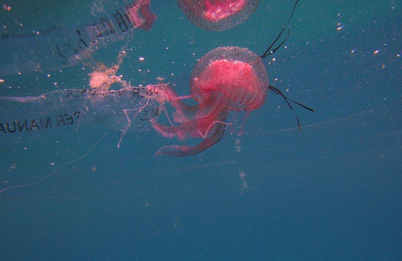 Jellyfish (Pelagia noctiluca) trapped in plastic, Kornati, Croatia.