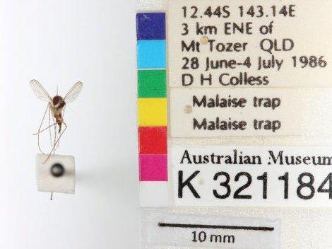 Amblypsilopus sp.