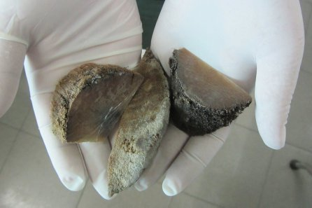 Horn fragments from a rhino horn seizure in Vietnam.